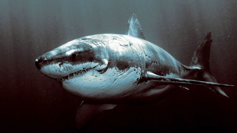 Shark-1440x2560